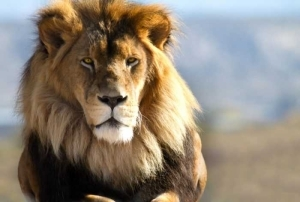 Ooops!! Lion Kills Trainer During Live Show (See How It Happened)